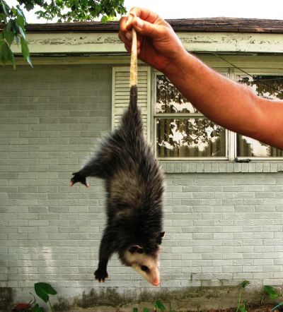Possum held by the tail