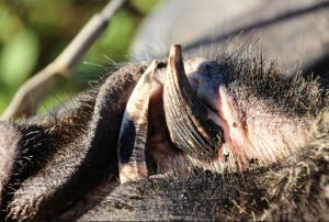 Wild boar tusks can cause serious damage