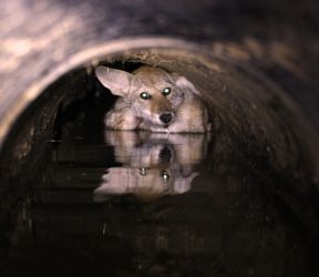 Coyote in a pipe