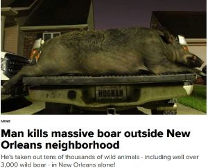 Trapper catches feral hogs in the New Orleans area.