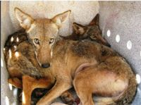 Two captured coyotes in Slidell, Louisiana